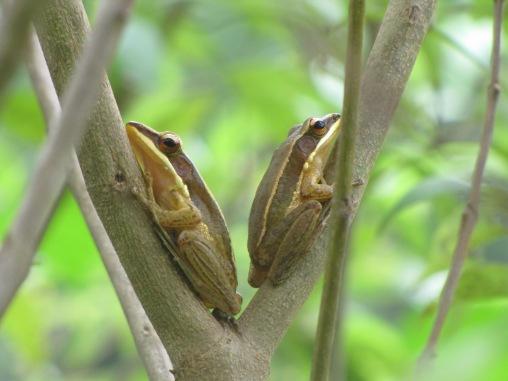 golden frogs (hylarana aurantiaca)