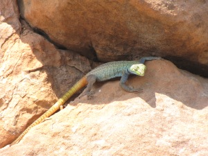 Male Platysaurus lizard in Mapungubwe, South Africa. Copyright Ambika Kamath
