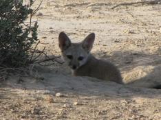 desert fox cub (2)