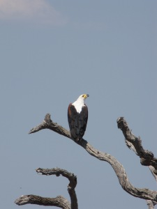 African Fish Eagle (Haliaeetus vocifer) in the Kruger National Park, South Africa