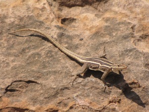 Female Platysaurus lizard in Mapungubwe, South Africa