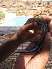 Female Rainbow Skink in Mapungubwe, South Africa