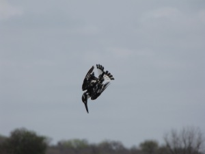 Pied Kingfisher (Ceryle rudis) in the Kruger National Park, South Africa