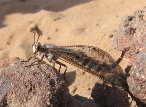Adult antlion!