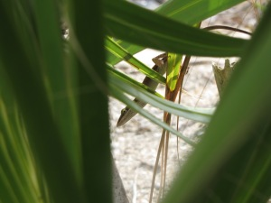 Anolis carolinensis amidst palm fronds. Mosquito Lagoon, FL.