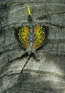 Draco dussumieri. Photo by Ganesh Shankar.