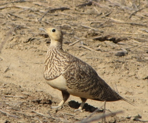 Female Chestnut-Bellied Sandgrouse