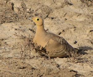 Male Chstnut-Bellied Sandgrouse