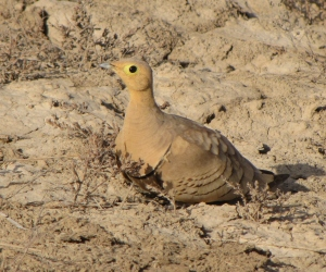 Male Chstnut-Bellied Sandgrouse