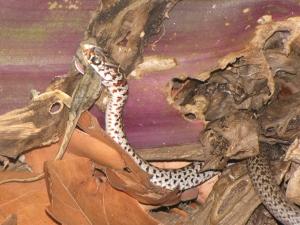 Snake feeding on a female Anolis sagrei