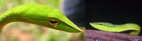 Vine snakes, Ahaetulla and Oxybelis (photos from Wikipedia)
