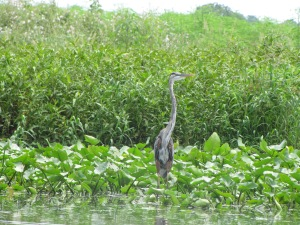 Great Blue Heron on the St. John's River