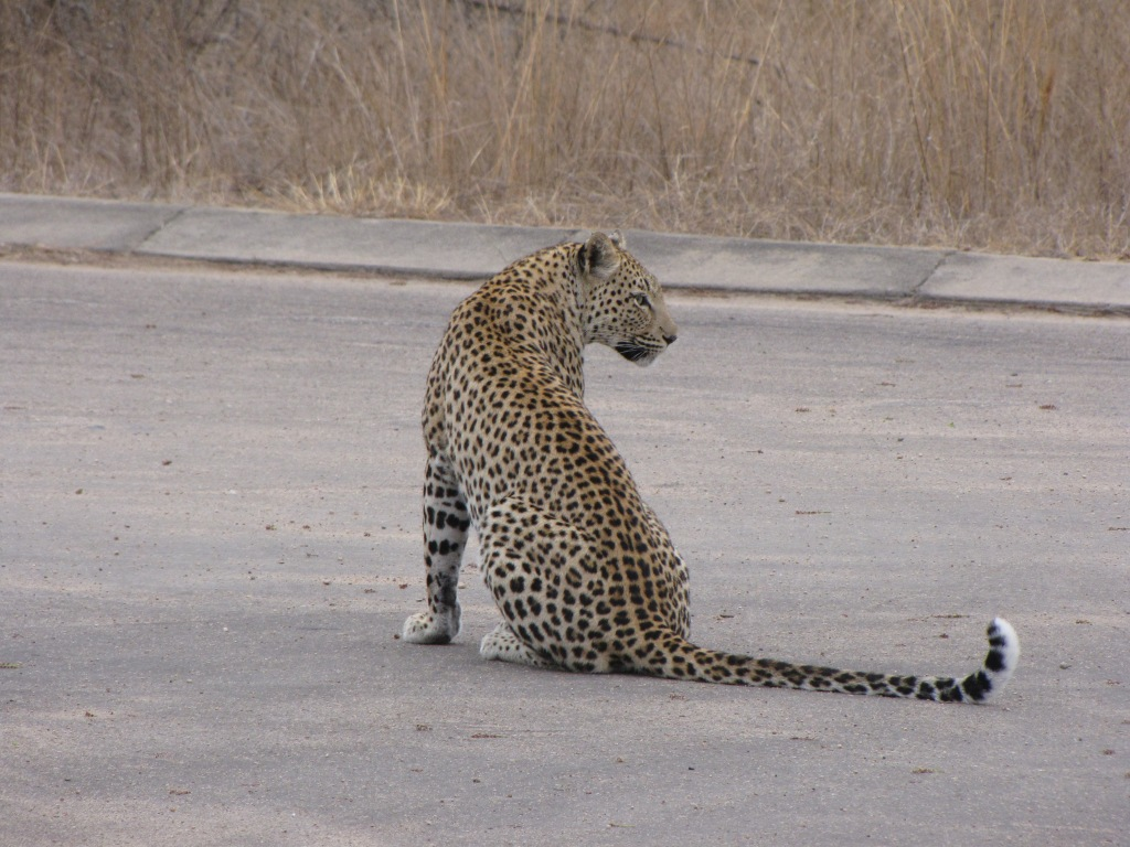Leopard on the road in Kruger National Park, South Africa.