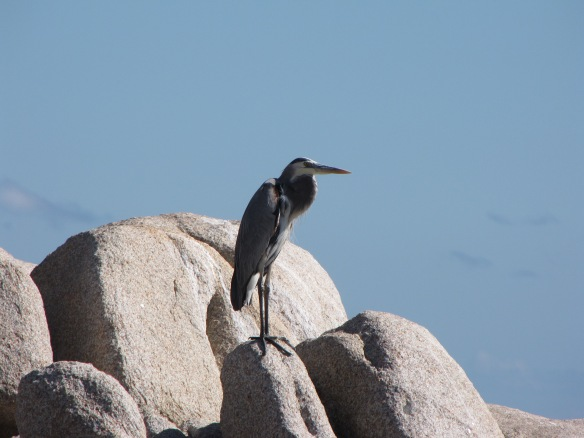 Great Blue Heron on the beach of Cabo Pulmo, Baja California, Mexico.