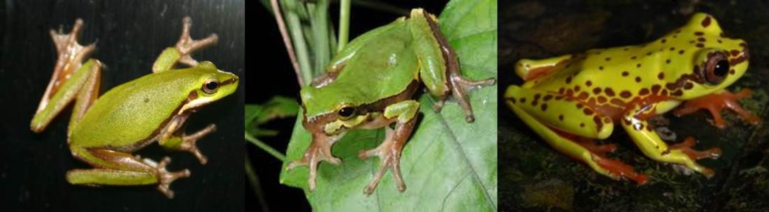 Arboreal frogs from across the world: Litoria bicolor from Australia, Hyla annectans from China, and Dendropsophus triangulum from Colombia. Photos by David and Diane Armbrust, Eduard Galoyan, and Pedro Peloso.