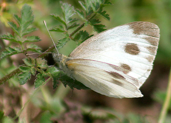 Cabbage White Butterfly. Photo by J.M. Garg