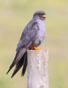 Red-Footed Falcon. Photo by Ariefrahman/Ron Knight from Wikipedia