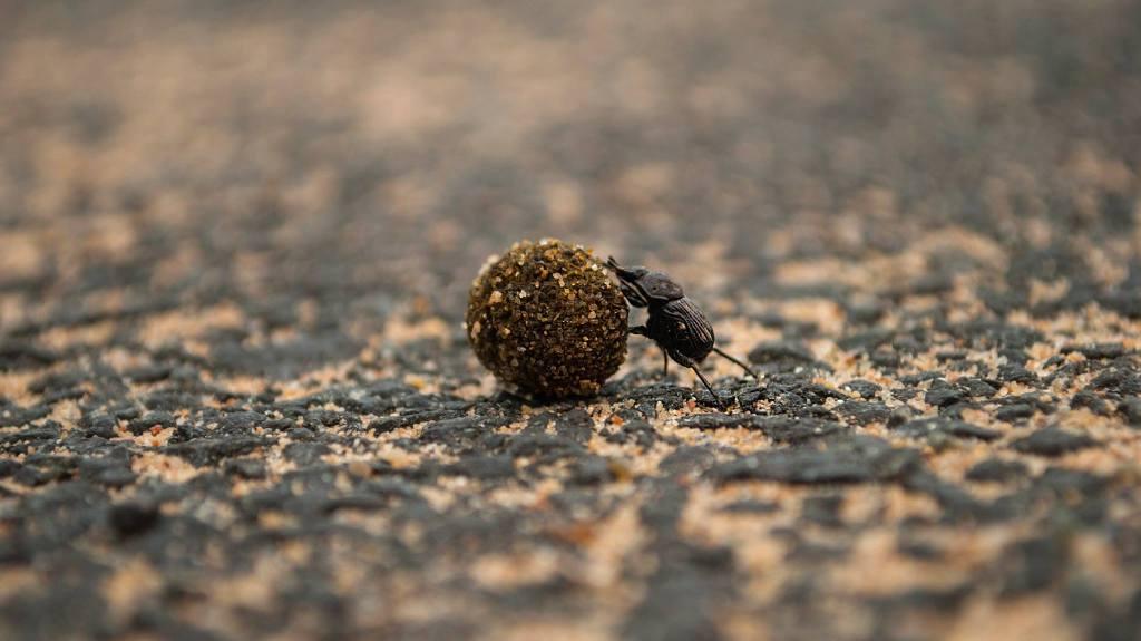 Dung Beetle. Photo by Sandeep Varma.