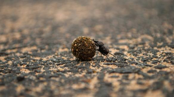 Dung Beetle. Photo by Sandeep Varma.
