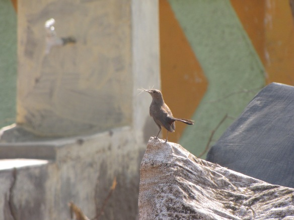 Indian Robin building a nest in Bharapar, Kutch.