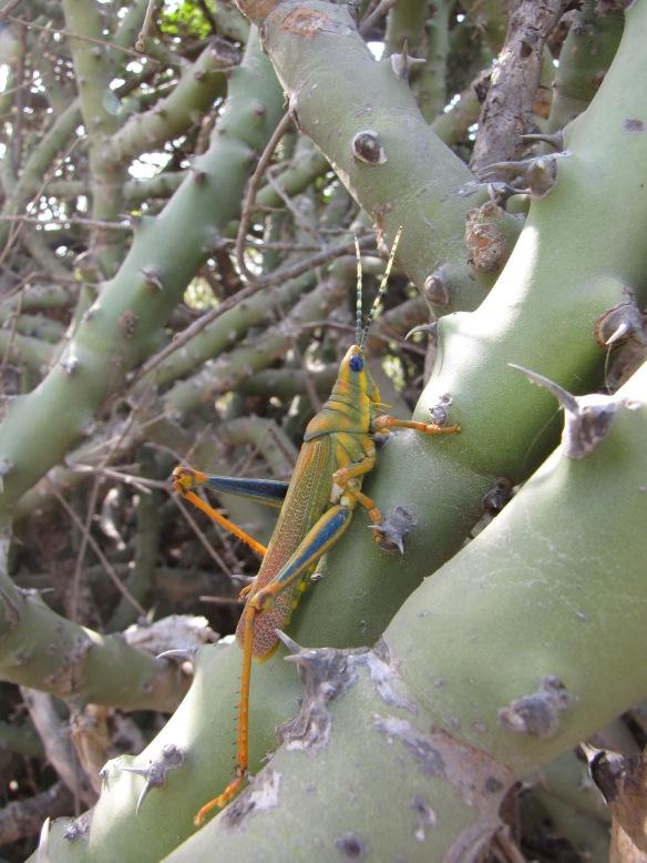 Painted grasshopper on euphorb