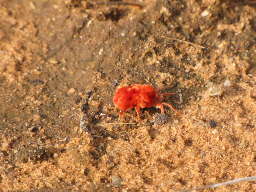 Velvet mites emerge after the first rain...