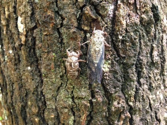 A newly moulted cicada