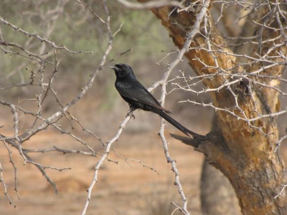 Black Drongo in Kutch