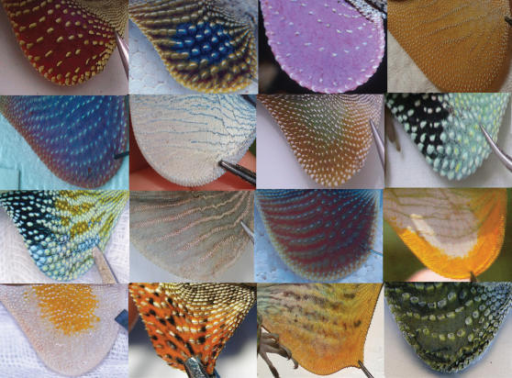 Some anole dewlaps (From Nicholson et al. 2007)