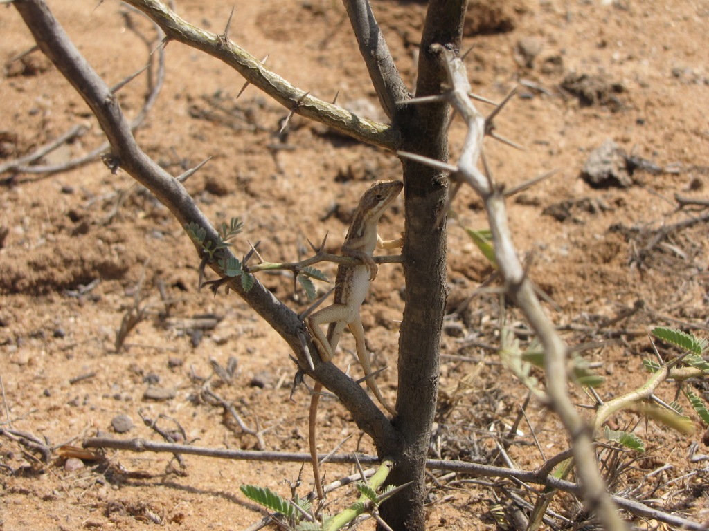 Fan-throated lizard (Sitana spp.) in Kutch, India.