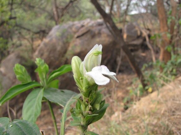 Vasaka Flower Ambika Kamath