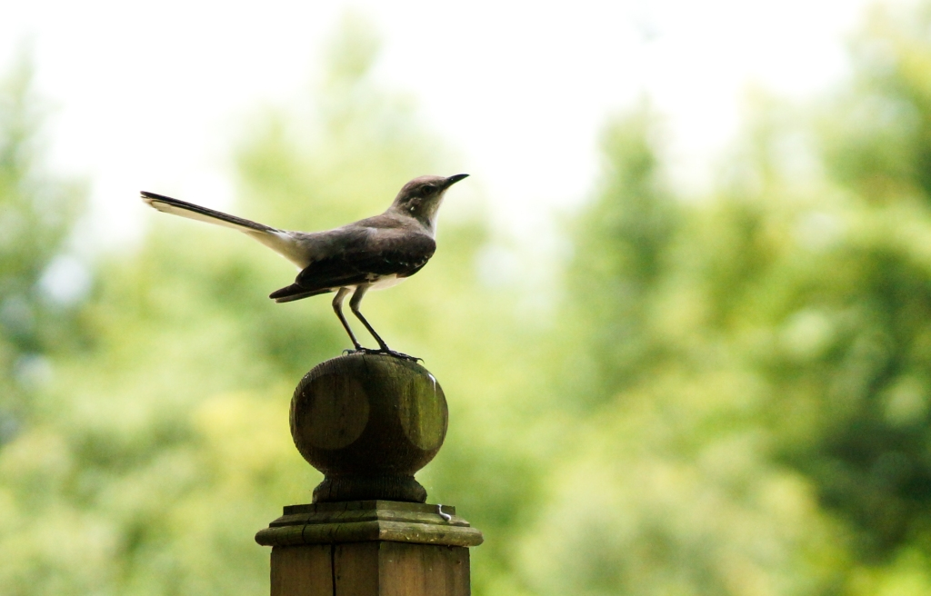 Mockingbird. Photo by Rachel Moon.