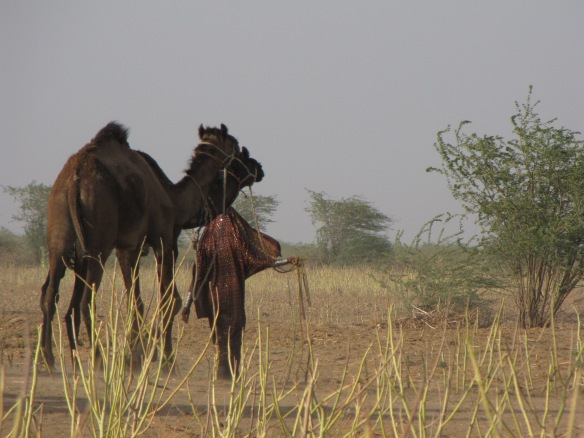 I wonder if the camel herders of Kutch also know about tent caterpillars causing camel abortions