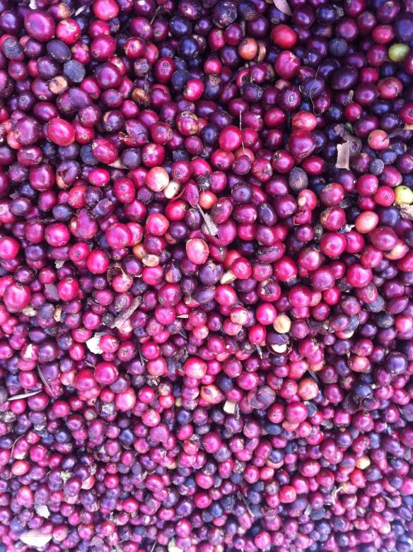 Coffee Fruit. Photo by Nachiappan Ramanathan.