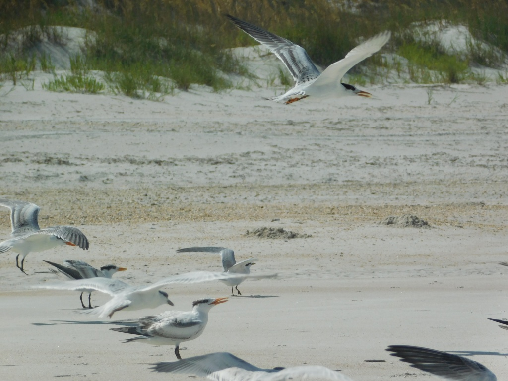 Terns in St. Augustine