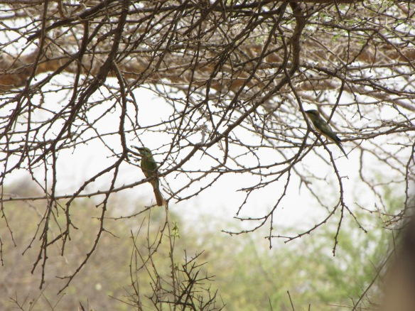 Bee-eaters among the acacia branches in Kutch.