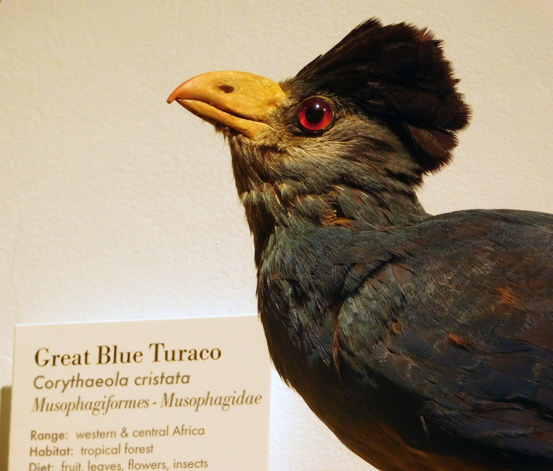 Great Blue Turaco Specimen in the Harvard Museum of Natural History.JPG