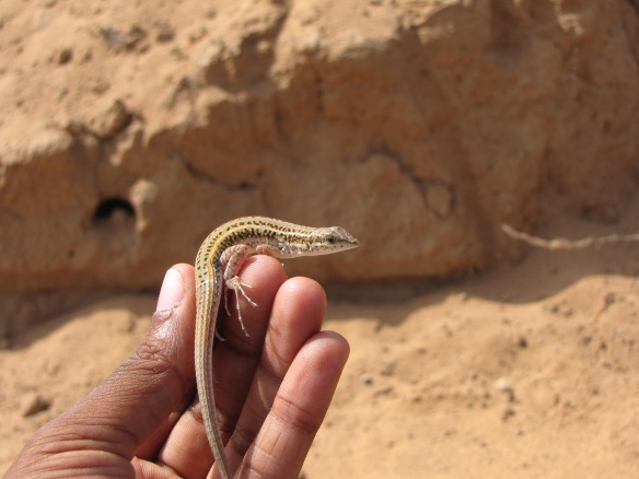 NOT a Podarcis, but another lacertid lizard, from Kutch.