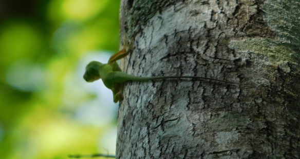 Green anoles are increasingly elusive in Florida.